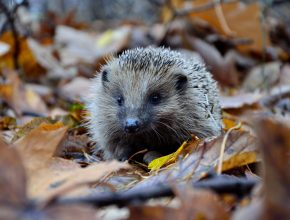 Woodland habitat and wildlife hedgehog